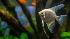 Platinum angelfish / altum fish stock image