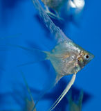 Platinum angelfish full body sideview. White angelfish group on blue background Royalty Free Stock Photography
