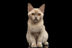 Platinum burmese kitty on black background. Burmese kitty with platinum color of fur sitting and looking in camera on black background, front view royalty free stock images