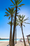 Platja de Alcudia beach in Mallorca Majorca. Platja de Alcudia beach Palm trees in Mallorca Majorca at Balearic islands of Spain Stock Image