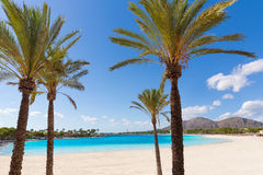 Platja de Alcudia beach in Mallorca Majorca. Platja de Alcudia beach palm trees in Mallorca Majorca at Balearic islands of Spain Royalty Free Stock Images