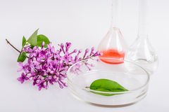 Plato del laboratorio para la extracción de ingredientes naturales en perfumería Fotografía de archivo