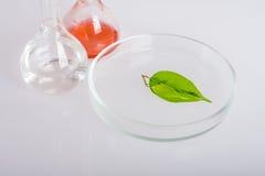 Plato del laboratorio para la extracción de ingredientes naturales en perfumería Imágenes de archivo libres de regalías