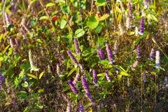 Platostoma cochinchinenses花美丽与晴朗 库存图片