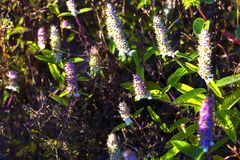 Platostoma cochinchinensesblomma och små gass Royaltyfri Foto