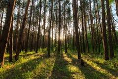 Plats av den härliga solnedgången på sommarpinjeskogen med träd och G Royaltyfria Foton