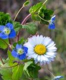 Plats av persicaen för blommaBellis Perennis och Veronica-på en solig dag royaltyfri bild
