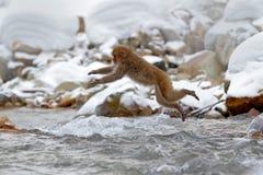 Plats för handlingapadjurliv från Japan Härma den japanska macaquen, Macacafuscataen som hoppar över vinterfloden, Hokkaido, Japa Arkivfoto
