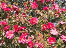 Platsen av sasanquablommor är i blom mycket Royaltyfri Fotografi