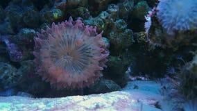 Plattakorall med purpurfärgade spetstentakel för bubblor arkivfilmer