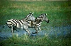 Plattar till sebran, Equusquagga Arkivfoto