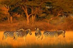Plattar till sebran, Equusquagga, i den gräs- naturlivsmiljön med aftonljus i den Hwange nationalparken, Zimbabwe Solnedgång i sa arkivfoto