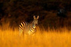Plattar till sebran, Equusquagga, i gräsnaturlivsmiljön, aftonljus, den Hwange nationalparken Zimbabwe arkivbild
