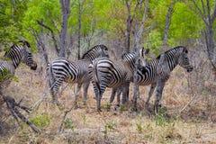 Plattar till sebran, Equusquaggaen, Zimbabwe Royaltyfri Bild