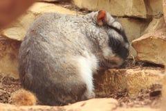 Plattar till viscacha royaltyfria bilder