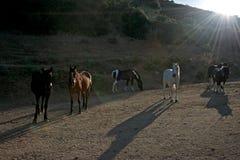 Plattelands backlight landschap met een groep paarden Stock Afbeelding