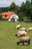 Plattelandshuisje en schapen Stock Foto