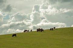 Plattelandsvee op een heuvel Royalty-vrije Stock Foto's