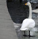 plattforer att tänka för swan arkivbild