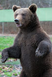 Plattform björn Royaltyfria Bilder