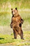 Plattform björn Royaltyfri Foto