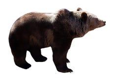 Plattform björn bakgrund isolerad white fotografering för bildbyråer