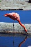Plattform dricksvatten för rosa flamingo Fotografering för Bildbyråer