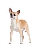 Plattform på fyra tafsar chihuahuahunden Royaltyfri Fotografi