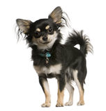plattform sikt för chihuahuahundsida royaltyfria foton