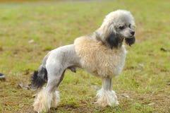 plattform toy för poodle Royaltyfria Foton