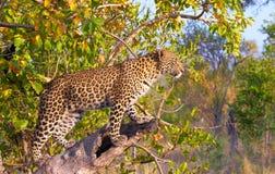 plattform tree för leopard Fotografering för Bildbyråer