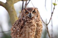 plattform tree för owl Royaltyfri Foto