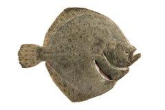 Platvissen stock foto