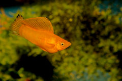 Platy Stock Images