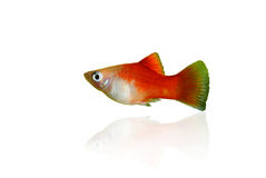 Platy fish. Red platy fish isolated on white stock photos