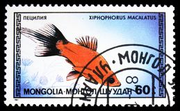 Platy Xiphophorus macalatus, Tropical Fish serie, circa 1987. MOSCOW, RUSSIA - SEPTEMBER 26, 2018: A stamp printed in Mongolia shows Platy Xiphophorus macalatus royalty free stock photography