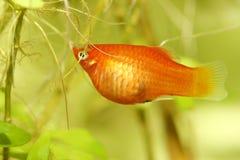 Platy (Xiphophorus maculatus). A popular freshwater aquarium fish royalty free stock photo