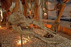Platybelodon danovi cheni skull, Beijing, China Royalty Free Stock Image