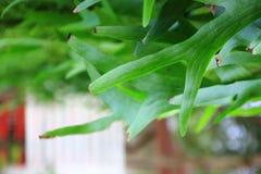 Platycerium coronarium fern Royalty Free Stock Photos