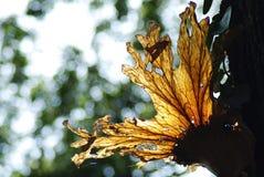 Platycerium coronarium fern. With detail Stock Photos