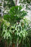 Platycerium coronarium - Platycerium ferns. On tree nature stock image