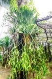 Platycerium coronarium on tree Royalty Free Stock Photo