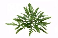 Platycerium della pianta d'appartamento Immagine Stock