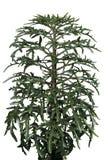 Platycerium della pianta d'appartamento fotografie stock libere da diritti