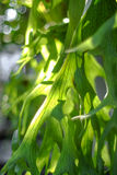 Platycerium fern leaves. In natural Stock Images