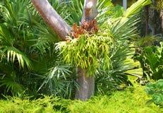 Platycerium paproć na drzewie zdjęcia royalty free
