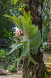 Platycerium on the tree,staghorn fern Stock Photos
