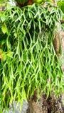 Platyceriumridleyi royalty-vrije stock afbeeldingen
