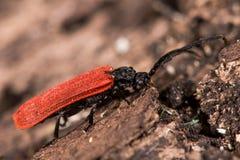 Platycis minutus beetle Stock Photos