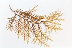Platycladus留下标本 免版税库存照片